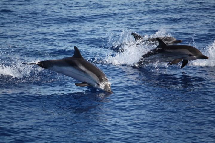 delfini_tra_panarea_e_stromboli_2