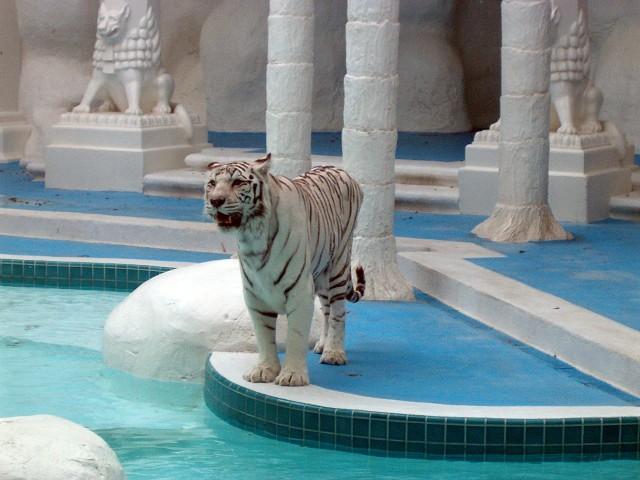 The_Mirage_White_Tiger
