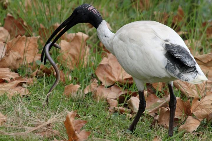 Threskiornis_molucca_-Sydney,_New_South_Wales,_Australia-8
